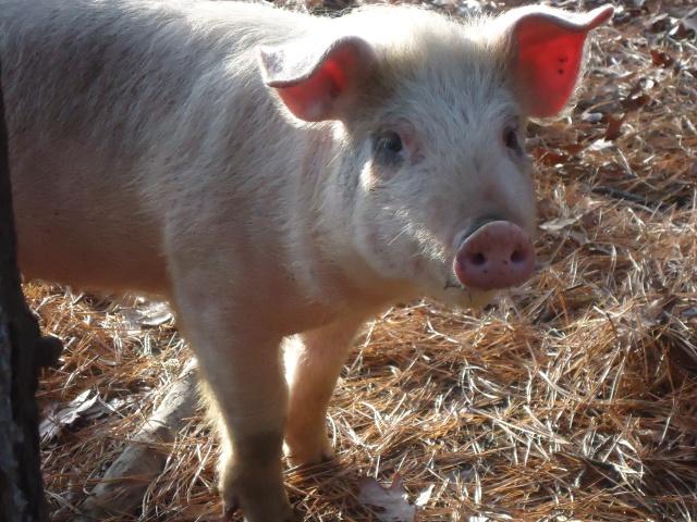 pig move 020 (2)